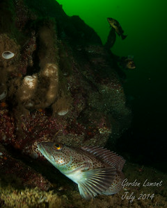The steep walls in Desolation Sound provide habitat for a variety of fish (Ling Cod, Yelloweye and Quillback Rockfish with a backdrop of Boot Sponge)