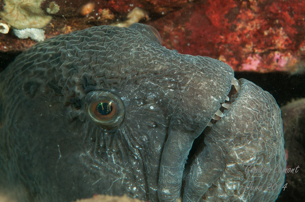 A female wolf eel at the entrance to her den