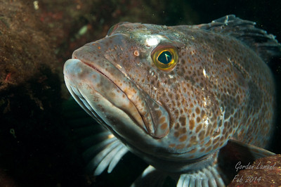 Male Ling Cod guarding his egg mass, Indian Arm