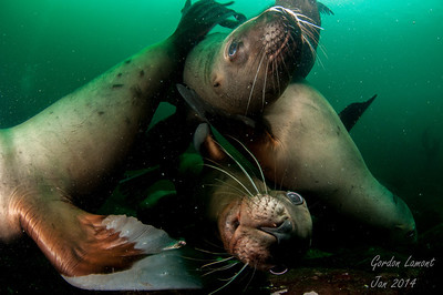 Hornby Sea Lions