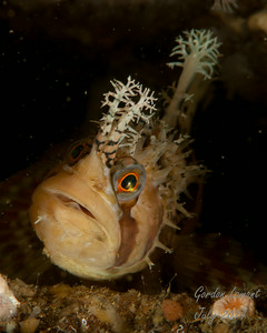 A large Decorated Warbonnet possibly guarding eggs in a small crack